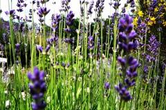 blume-lavendel-greenfield-lavender
