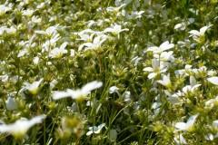 flower-white-greenfield