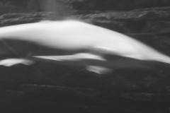 fisch-hai-verwischt-white-shark