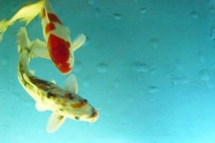 karpfen-aquarium-berlin-carp