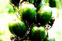 pflanze-kaffee-gruen-coffee-plant