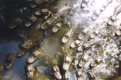 florida-krokodil-kindergarten-crocodile-babies