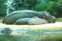 saeuger-flusspferdfamilie-hippopocamus