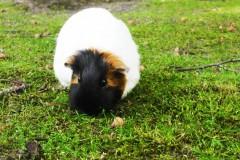 saeuger-meerschwein-guinea-pig-greenfield