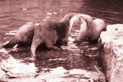saeuger-otter-pair-love
