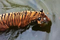 saeuger-tiger-schwimmen-swim