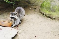 saeuger-waschbaer-racoon-eating