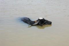 wasserbueffel-schwimmen-swim-water-ox