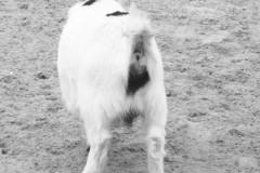 saeuger-zicklein-kackend-goat-shit