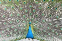 vogel-pfau-gefieder-peafowl-peacock
