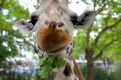 giraffe-futter-angesicht-eating-face