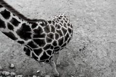 giraffenkoerper-corpus-camelopardalis-body
