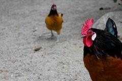 hahn-henne-cock-rooster-hen
