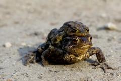 kroetenpaar-huckepack-toad-migration-piggyback