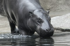 nilpferd-baby-hippopotamus