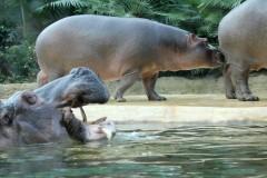 nilpferd-familie-hippopotamus-family