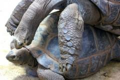 schildkroeten-paarung-turtle-pairing-scream