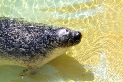 seehund-sonnenbad-sunbather-harbor-seal