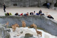 menschen-maehnenspringer-barbary-sheep-sensation