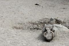 warzenschwein-tarnfarbe-warthog-camouflage-mimicry