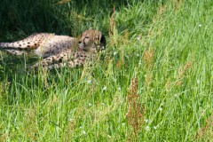 gepard-wiese-sonnenbad