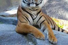tiger-oberhaupt-blickkontakt