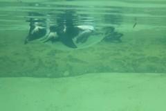 pinguin-unterwasser