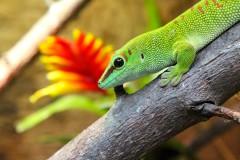 gecko-grün-rot-auge-schuppen