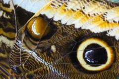 pfauenauge-detail-flügel